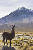 Lama standing and looking near volcano Sajama in Bolivia. Lama standing and looking to camera near volcano Sajama in Bolivia with grass on field Royalty Free Stock Photography