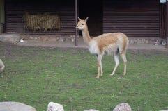 Lama steht auf grünem Gras Lizenzfreie Stockbilder