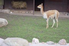 Lama stojaki na zielonej trawie Zdjęcia Royalty Free