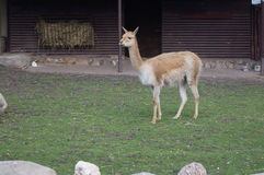 Lama stojaki na zielonej trawie Obrazy Royalty Free