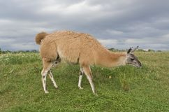 Lama in stormy ambiance Royalty Free Stock Photos