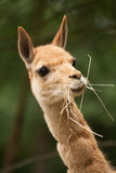 Lama with a straw in his mouth. Llama chews straw, head lama, cute lama Royalty Free Stock Images