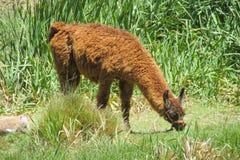 Lama su erba verde Fotografia Stock Libera da Diritti