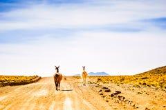 Lama su un vicolo nelle montagne della Bolivia Fotografie Stock