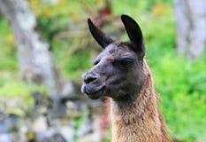 Lama sud-américain Photo libre de droits