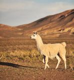 Lama sudamericano Fotografie Stock
