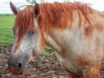Lama suja do cavalo branco no percheron do pasto Imagem de Stock