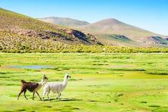 Lama sul campo verde nelle montagne delle Ande Immagine Stock