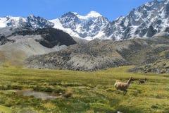 Lama sul prato della montagna Fotografia Stock