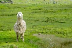 Lama sul prato verde Fotografia Stock