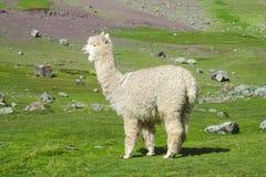 Lama sul prato verde della montagna Fotografia Stock Libera da Diritti