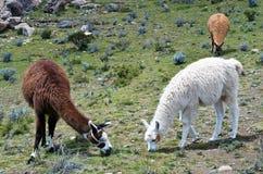 Lama sull'isola del Sun sul lago Titicaca bolivia Fotografie Stock Libere da Diritti