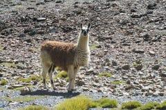 Lama sulle pietre della montagna Immagini Stock Libere da Diritti