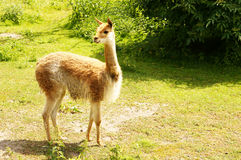 Lama in the sunlight Royalty Free Stock Photography