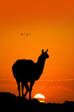 Lama at sunset Stock Photo