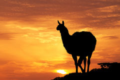 Lama at sunset Royalty Free Stock Photos