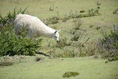 Lama sur le champ Photographie stock libre de droits