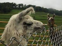 Lama sur Misty Day Photos libres de droits