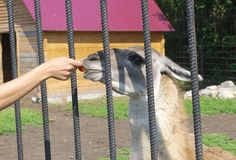 Lama takes food from hand. Feeding of  animals in the zoo Royalty Free Stock Photos