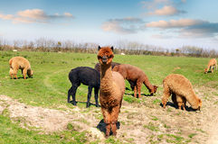 Lama in un campo Immagine Stock Libera da Diritti