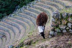 Lama in un terrazzo d'agricoltura su Inca Trail a Machu Picchu Immagini Stock
