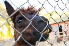 Lama in una gabbia Fotografia Stock