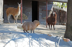 Lama und Capybara in Moskau-Zoo Stockbild