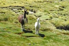 Lama und ihr kleines Baby Lizenzfreies Stockbild