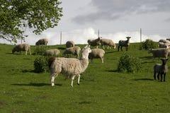 Lama und Schafe Lizenzfreie Stockbilder