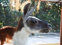 Lama in uno zoo Fotografie Stock