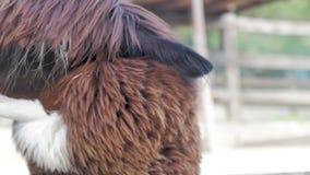 Lama untersucht die Kamera Tierkauen des lustigen Lamas Schließen Sie herauf Portrait stock footage