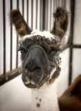 Lama. Up close in a cage Stock Photography
