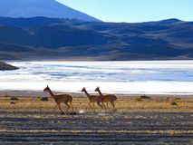 Lama utrzymanie w średniogórzach Boliwia obraz stock