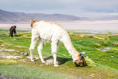 Lama Uyuni, Bolivia Arkivbilder