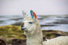Lama Uyuni, Bolivia Fotografering för Bildbyråer