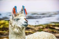 Lama, Uyuni, Bolivia Fotografie Stock Libere da Diritti