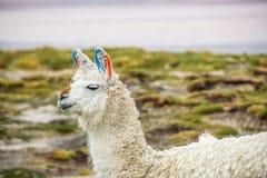 Lama Uyuni, Bolivia Royaltyfri Bild