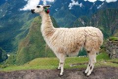 Lama an verlorener Stadt von Machu Picchu - Peru Stockfotos
