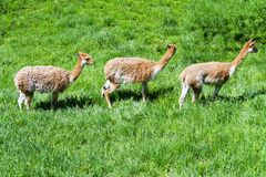Lama vicunas Royalty Free Stock Photos