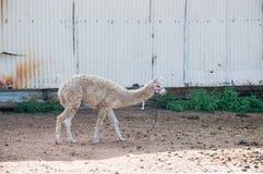 Lama-Viehbestand Lizenzfreie Stockfotos