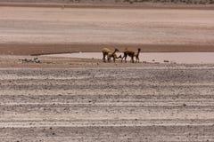 Lama Vikunja Vicugna vicugna. Wild lama Vigogna in the Andes, Peru Stock Images