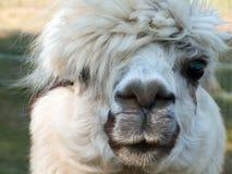 Lama - vous regarder Images libres de droits