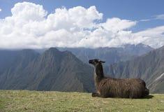 Lama w Andes Fotografia Stock