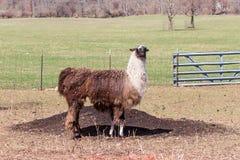 Lama w polu Fotografia Stock