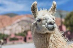 Lama w Purmamarca, Jujuy, Argentyna. Obraz Stock