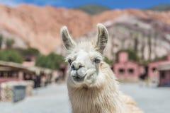 Lama w Purmamarca, Jujuy, Argentyna. Zdjęcie Stock