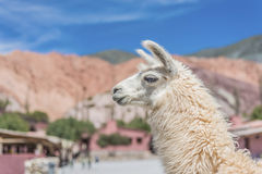 Lama w Purmamarca, Jujuy, Argentyna. Obrazy Royalty Free