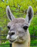 Lama W zoo Zdjęcia Stock