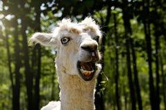 Lama w zoo obrazy royalty free