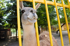Lama w zoo crimea Lato Obraz Royalty Free